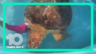 Sea turtle gets massive tumor removed