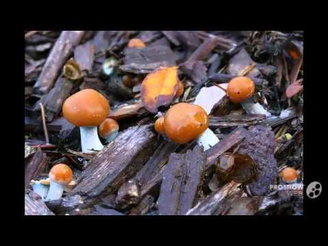 Psilocybe allenii - fungi kingdom