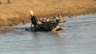 Survival of the Fittest - Wild Dogs & Kudu Kill