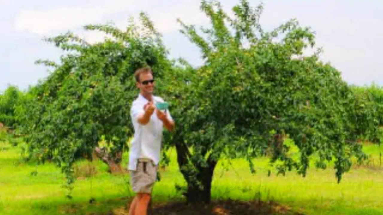 Green Gage Plum Tree You
