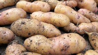 🥔Die eigenen Kartoffeln: Lagerung, Haltbarkeit und raffinierte Anbauplanung