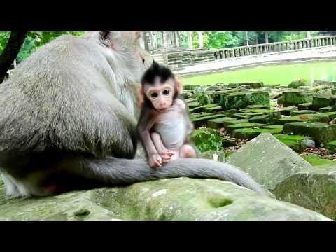 Fire Ants Bite Newborn Baby Monkey On Secret  Spot, He go back to mom for help