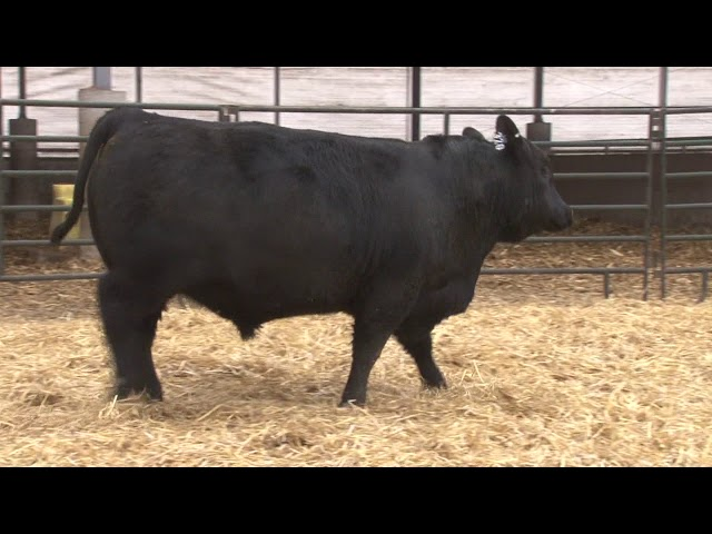 Schiefelbein Angus Farms Lot 320