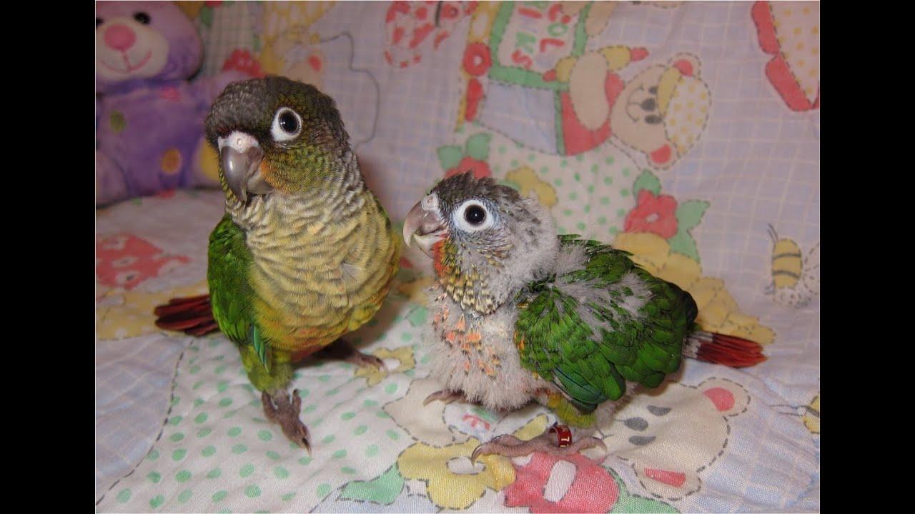 Green Cheek Conure Babies - YouTube - photo#18