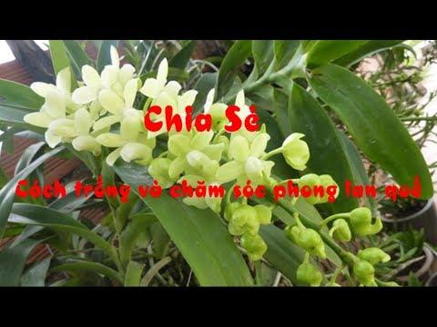 Chia sẻ cách trồng và chăm sóc phong lan quế   Lan đơn thân rễ gió