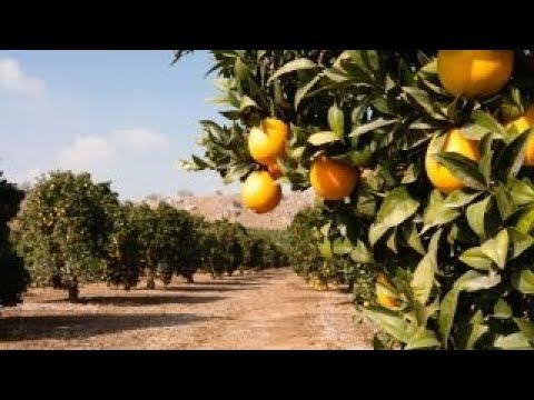 Hurricane Irma threatening Florida's orange groves