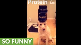 Dog balances various household objects on his head