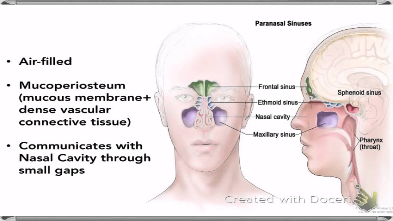Nasal Cavity And Paranasal Sinuses - YouTube
