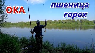 Рыбалка на пшеницу и горох Ока жара июнь 2021