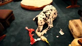 Dalmatian Opening Xmas Gift