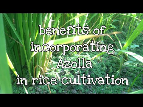 Benefits Of Incorporating Azolla In Rice Cultivation