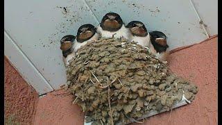 Ласточкино гнездо онлайн, Swallow's Nest online