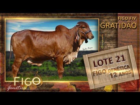 LOTE 21 - FIGO GRATIDÃO - HCFG 1467