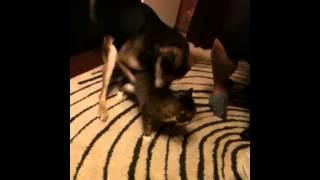 Собака насилует кота