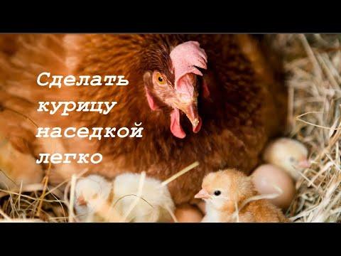Вопрос: Как инкубаторскую курицу посадить на гнездо?