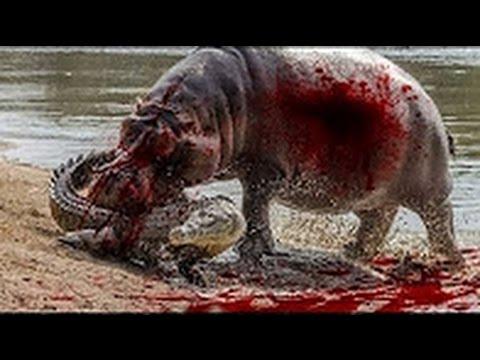 Бегемот напал на крокодила. Бегемот против крокодила / Уникальные кадры