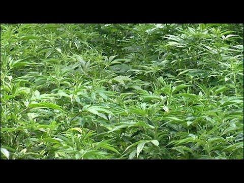 The marijuana economy in New York