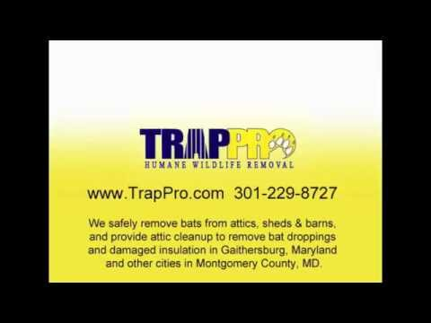 Bat Trapping & Removal from Attics, Sheds & Barns in Gaithersburg, MD