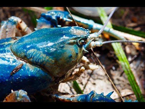 World's Largest Freshwater Crayfish In Takayna / Tarkine