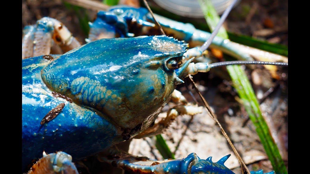 Worlds Largest Freshwater Crayfish In Takayna Tarkine Youtube