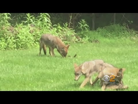 Concerns Over Out Of Control Coyote Population In New Jersey Towns