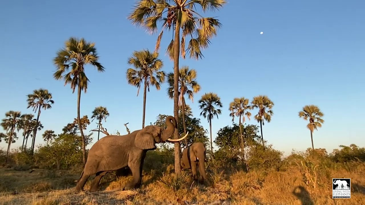 Jabu shaking down palm nuts | Living With Elephants | Okavango Delta, Botswana