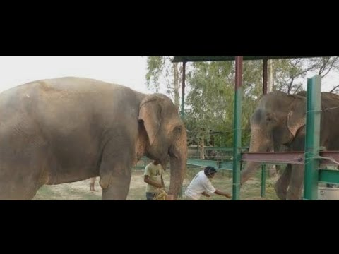 After 50 Years Of Pain Raju The Crying Elephant Is Now Happy And Has A Girlfriend