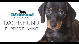 Dachshund Puppies Playing: Cute Dachshund Puppies Playing Around