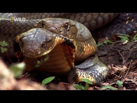 Truy tìm loài Rắn Hổ Mang Chúa Khổng Lồ ở Việt Nam