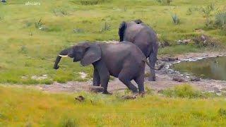 Слон неврастеник Africa Neurotic elephant Дикая природа Африкп