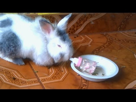 conejo-inteligente-pide-biberon-en-un-plato-/-rabbit-asks-bottle-on-a-plate
