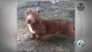 Dachshund, Pit Bull Mix Up For Adoption