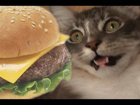 Funny cats can haz cheezburger?
