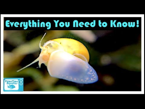 Mystery Snail Care And Breeding: Your Friendly Neighborhood Algae Eater!