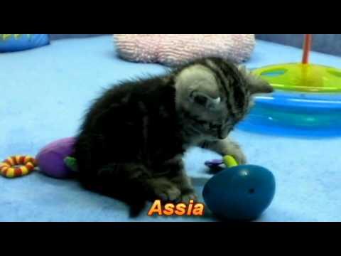 Британские котята окрасы британских котят фото