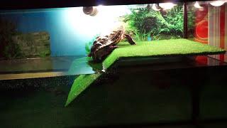 Запуск нашей черепашки в большой аквариум! Первая реакция/The launch of our turtle