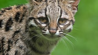AMAZING Wild Cats You Didn't Know Existed!