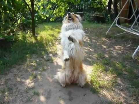 Rough collie tricks II. - Jessie