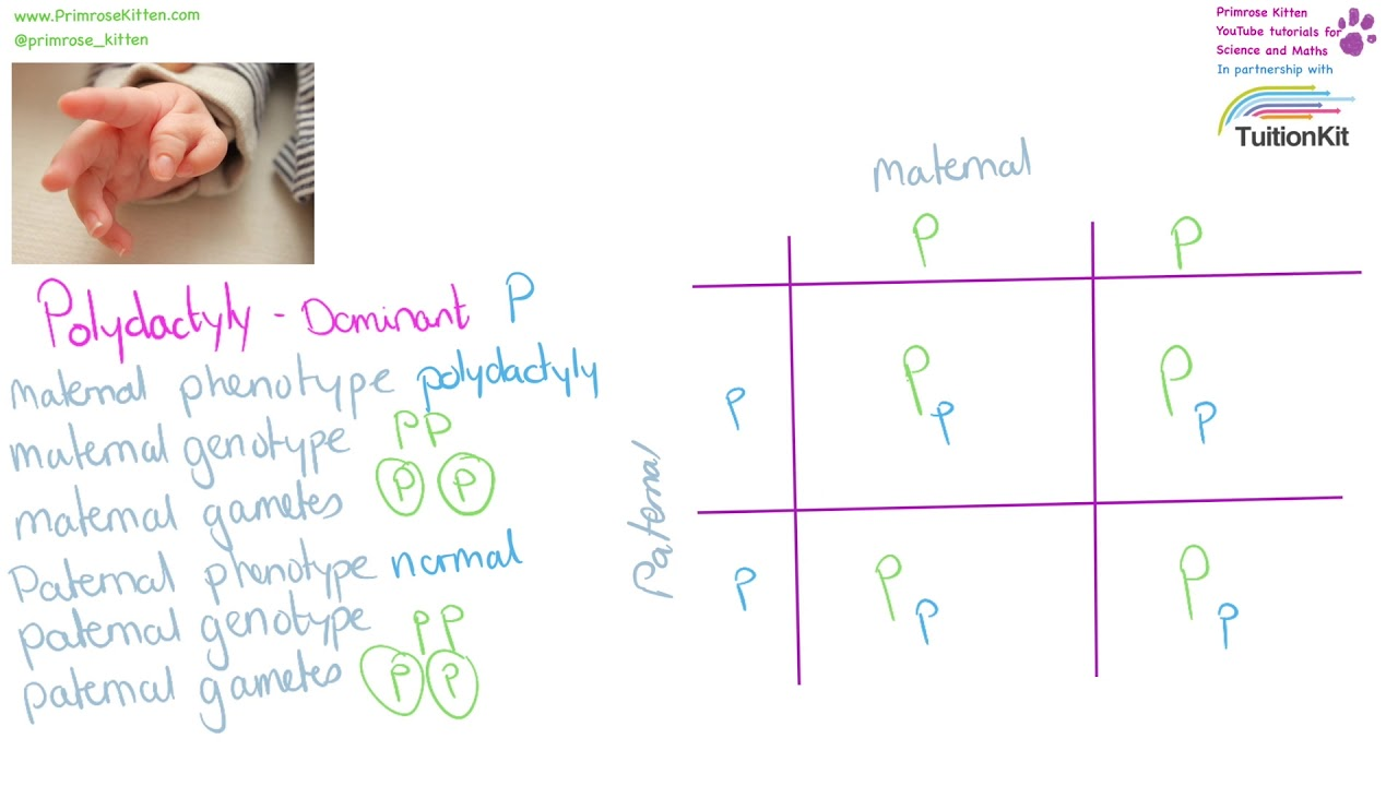 Drawing A Genetic Cross In Punnett Square Diagrams
