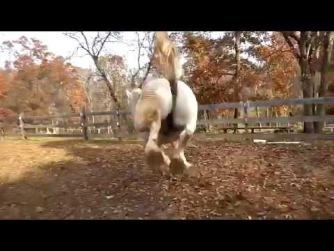 Teddy, a former Boston carriage horse, running freely and enjoying life!