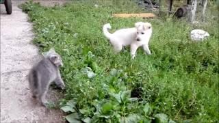 котёнок и щенок играют друг с другом