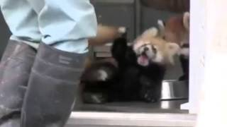 Red Panda Scare - Raccoon Jumps at Foot Stomp