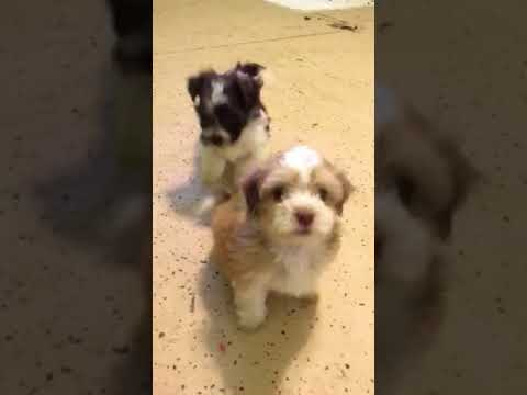 Havanese puppies at Luda's Havanese GA