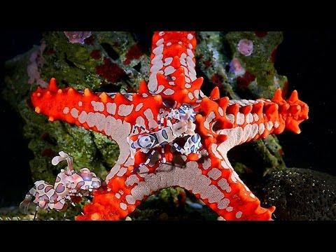 The Occupied Starfish Hymenocera Elegans Meet Pr Youtube