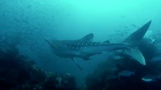 Whale Shark in 4K: The World's biggest fish at Richelieu Rock
