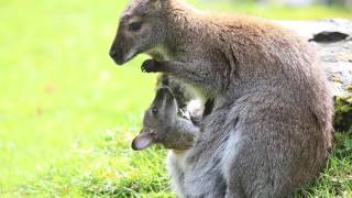 Wallaby joey pokes out of mom's pouch