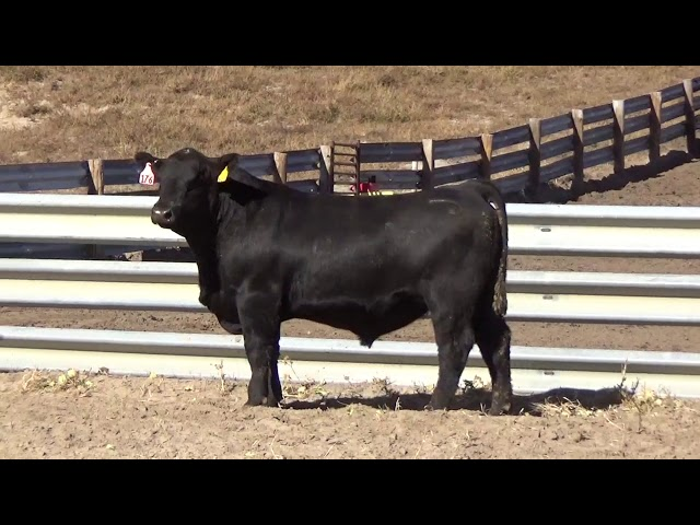 Connealy Angus Lot 176