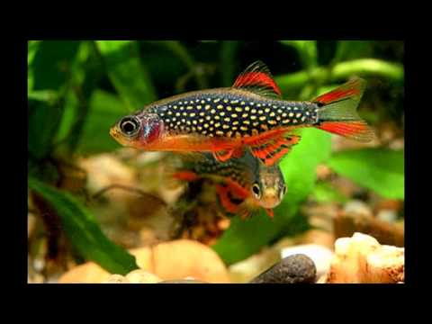 Exotic rare tetras rainbows barbs rasboras available for Cool freshwater fish for sale