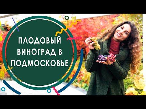 #виноград #винограднадаче   Как выращивать виноград в Подмосковье? Сорта винограда для Подмосковья