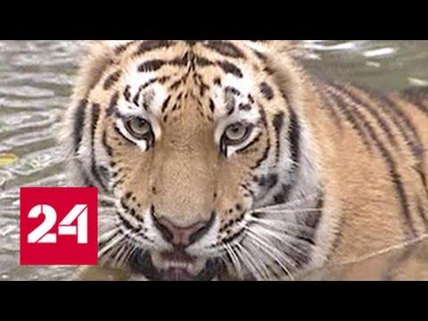 Во Владивостоке вторые сутки ищут тигра